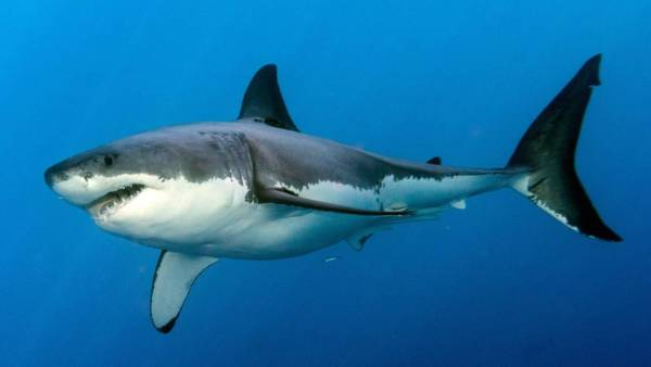 Divers warned after great white shark sightings off North