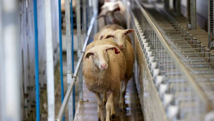Compared to cows' milk, sheep milk contains 60 per cent more protein and twice as much calcium, zinc and leucine.