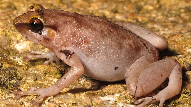 Newly discovered Australian frog