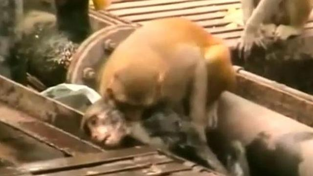 Monkey saves 'dying' friend at train station in India