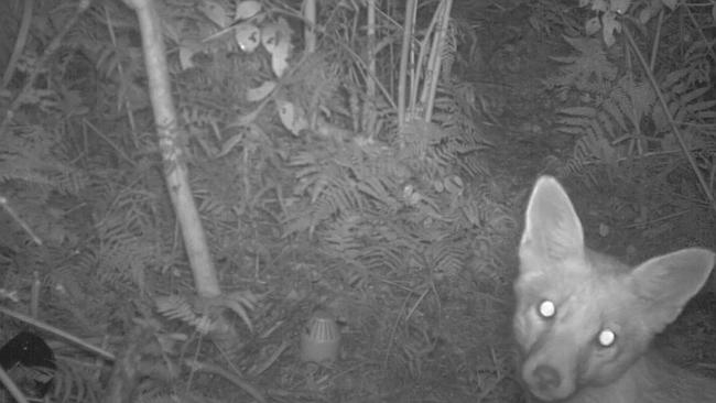 A screen shot of the fox through the infra-red cameras. Picture: NSW National Parks and W