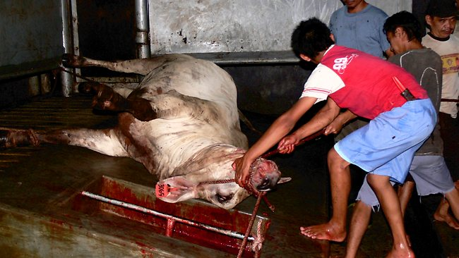 Slaughterhouse cruelty
