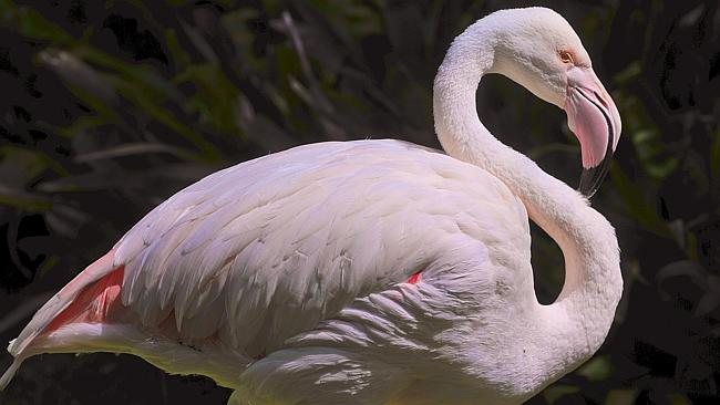 The Adelaide Zoo flamingo pictured after recovering from a brutal attack in 2008. Picture: ROY VAN DER VEGT