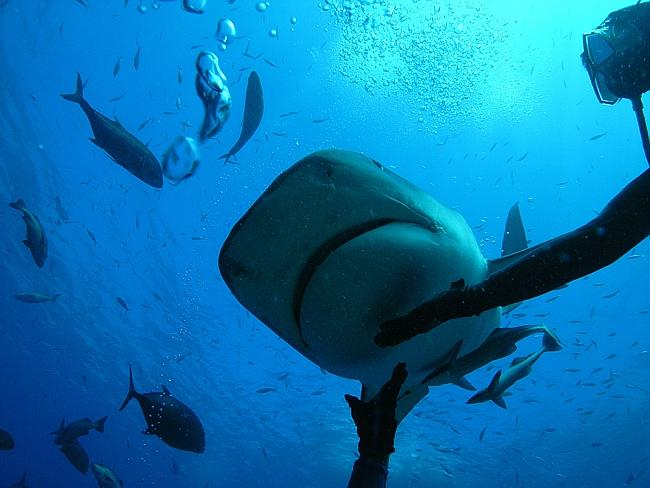 Up close with a tiger shark in Beqa Lagoon, Fiji. Picture: Mark McCrum