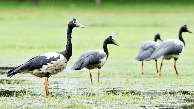 Authorities are investigating after 80 birds, mostly magpie geese, were found dead at Has