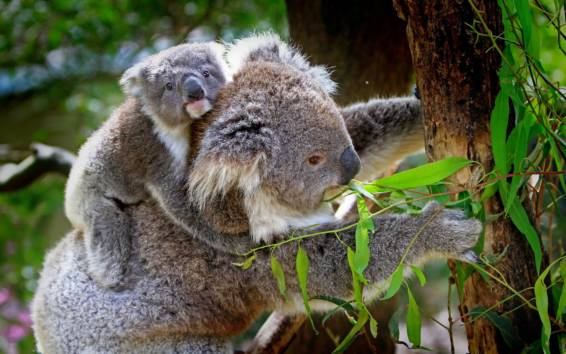 Koala parent and baby in Australia we need to protect our wildlife and home life.