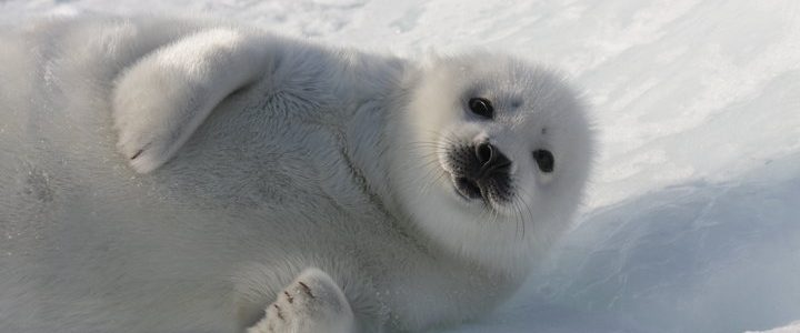 Save The Seals 2020: Boycott Canada