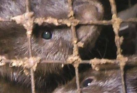 Veterinary Ireland recommends immediate ban on fur farming