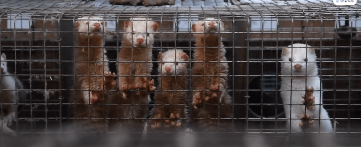 Horrific fur farm footage from France reveals the truth about fur