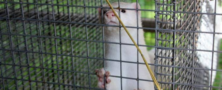 Sweden shuts down mink fur farming