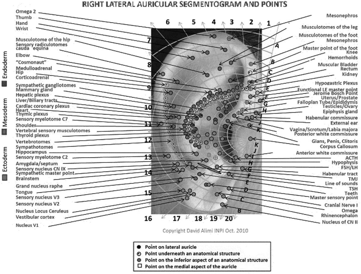 Auricular acupuncture homunculus 5