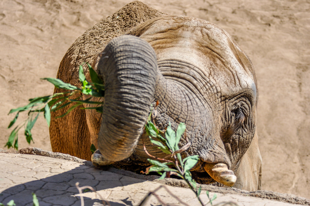 Tembo: Victimized by acupuncture quackery at the San Diego Zoo