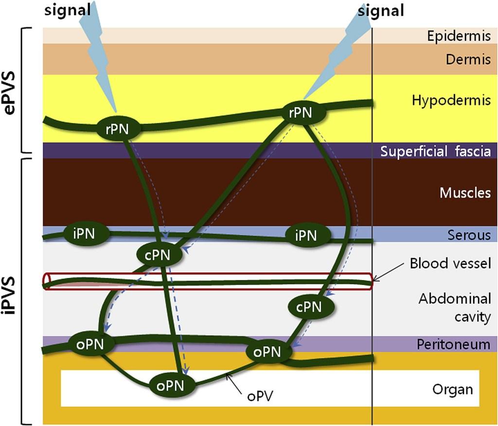 Primo vascular system