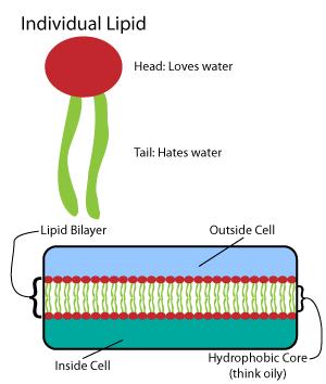 Lipids and lipid bilayers used in lipid nanoparticles