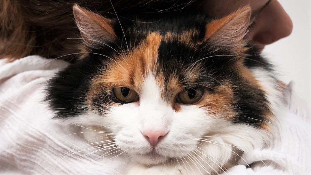 Har din kat smerter?