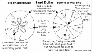 Sand Dollar  Respiration
