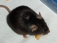 mouse-infestation-health-risks-2