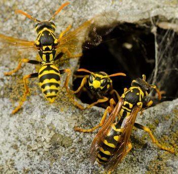 Nassau Wasps Could Kill You