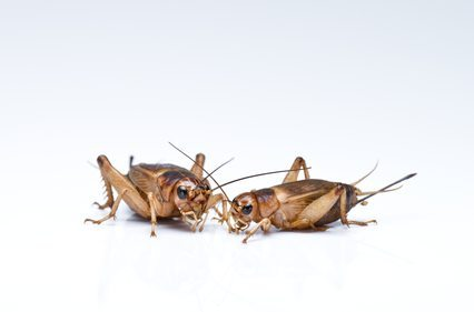 The Science Behind the Cricket-Chirp