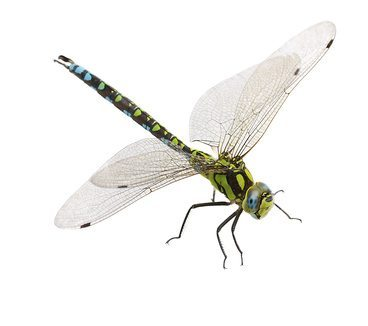 Dragonflies: Beautiful Super-Predators