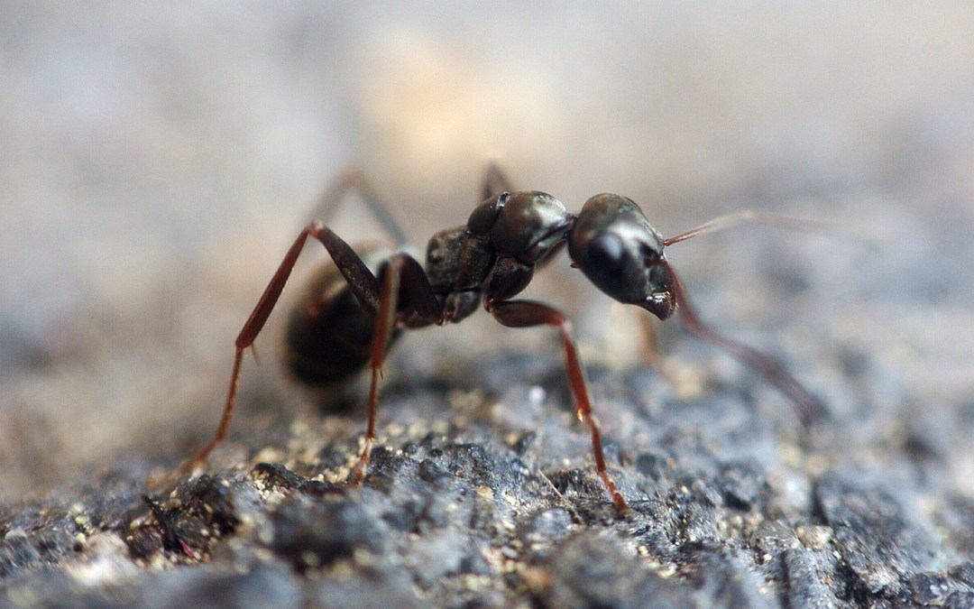 Ants Persisting Year Round in New York