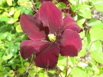 She's always liked dark, velvety flowers.