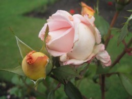 For my mam there was nothing like a rose
