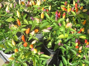 And multi-hued chillis!