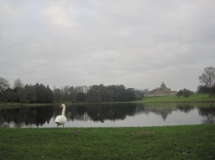 A watchful swan
