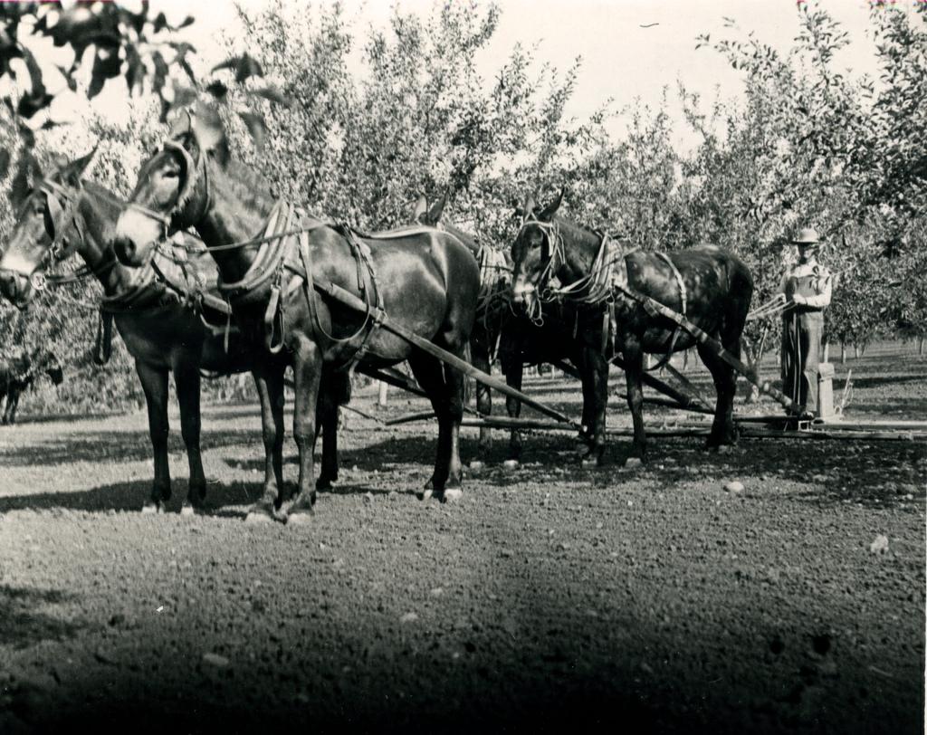 Mule Team Harvest Photo / Kathy Tucker
