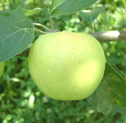 Chehalis Apple
