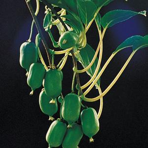 Cordifolia-Kiwi