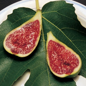 Fig Tree- Stella