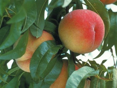 Peach Picking Trip
