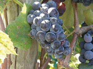 Grape (Lynden Blue)