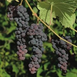 Grape- Seedless Blue Muscat