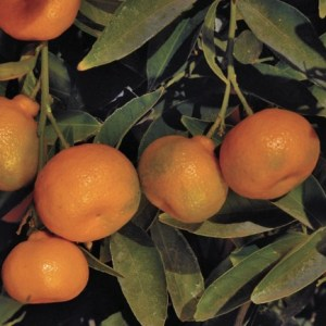 Kishu Mandarin