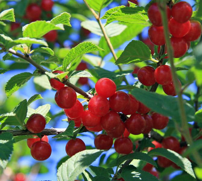 Bush Cherry