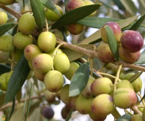 Olive- Arbequina