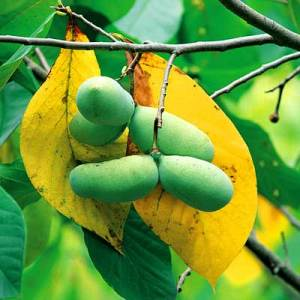 Pawpaw-Sunflower