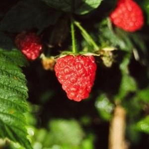 Raspberry-Meeker
