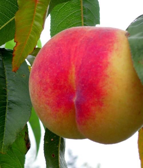 Peach & Nectarine