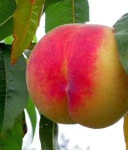Veteran Peach