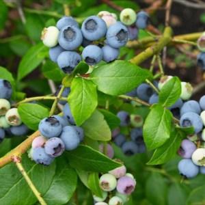 blueberry Northland