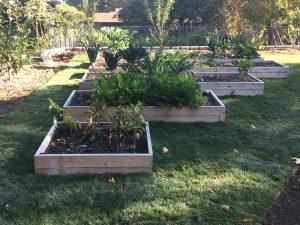 Grass sod installation with cedar raised garden beds
