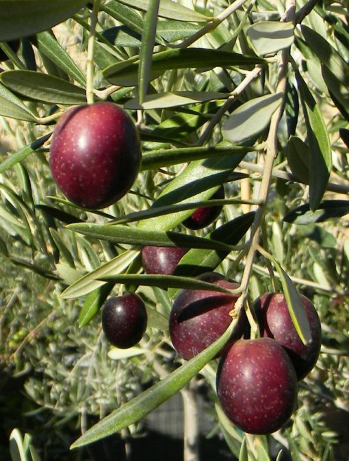Olive Tree- Leccino
