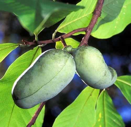Pawpaw fruit KSU