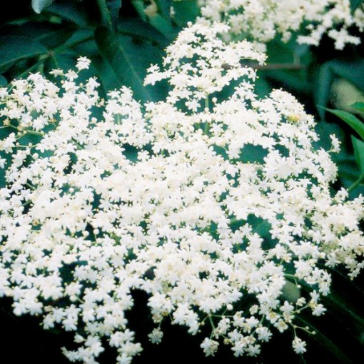Elderberry Allesso