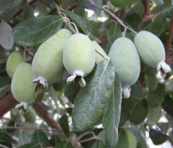 Pineapple Guava Mammoth