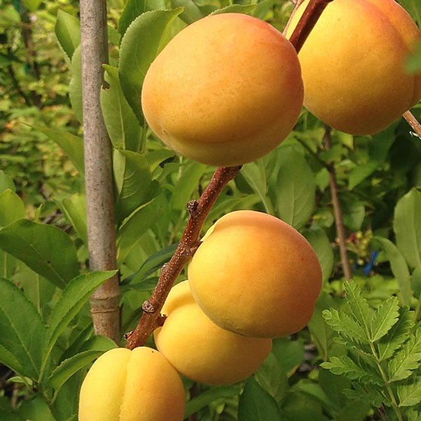 Puget Gold Apricot